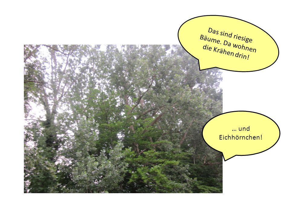 Das sind riesige Bäume. Da wohnen die Krähen drin!