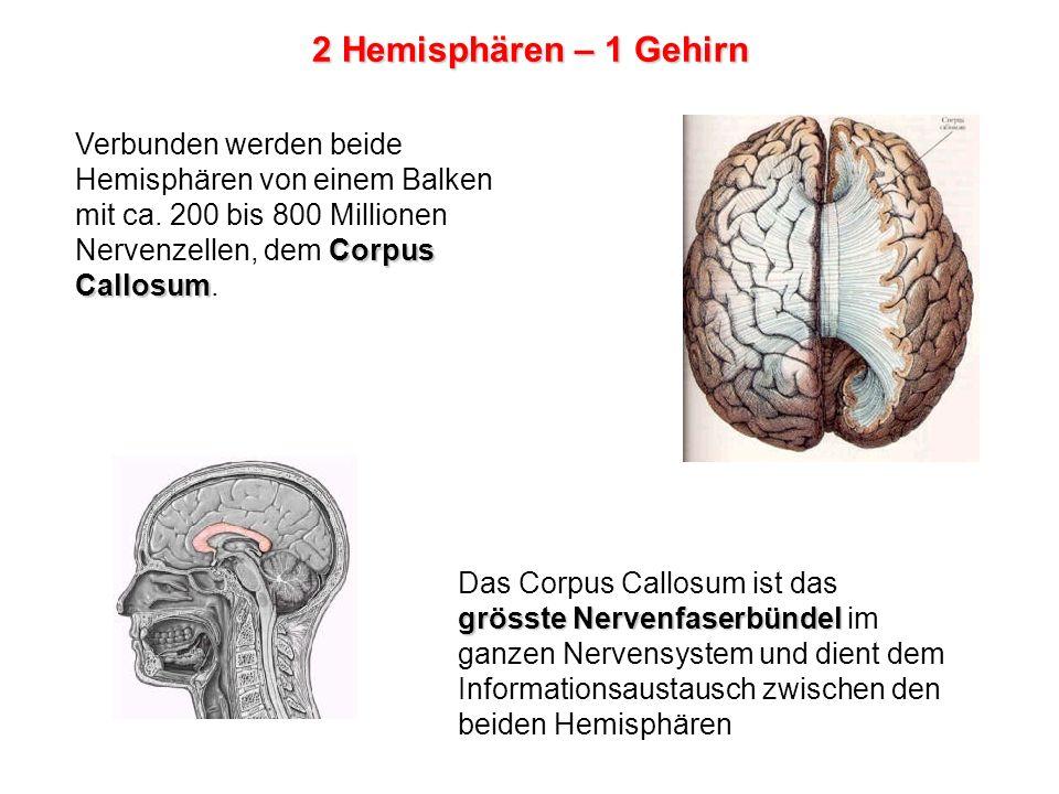 2 Hemisphären – 1 Gehirn Verbunden werden beide