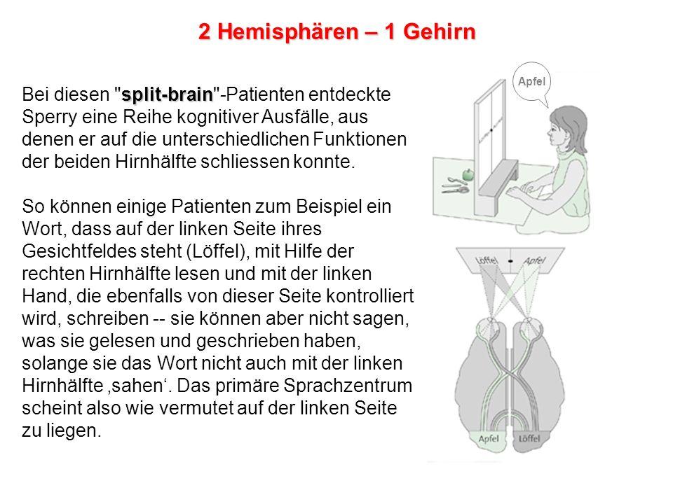 2 Hemisphären – 1 Gehirn Apfel.
