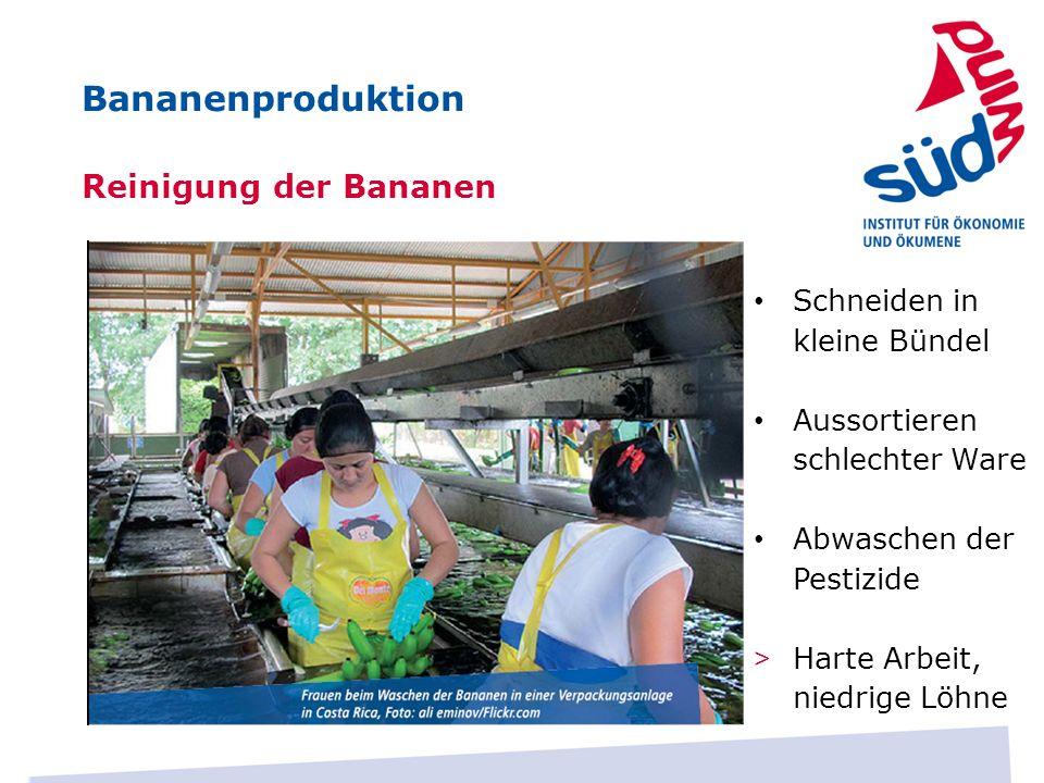 Bananenproduktion Reinigung der Bananen Schneiden in kleine Bündel