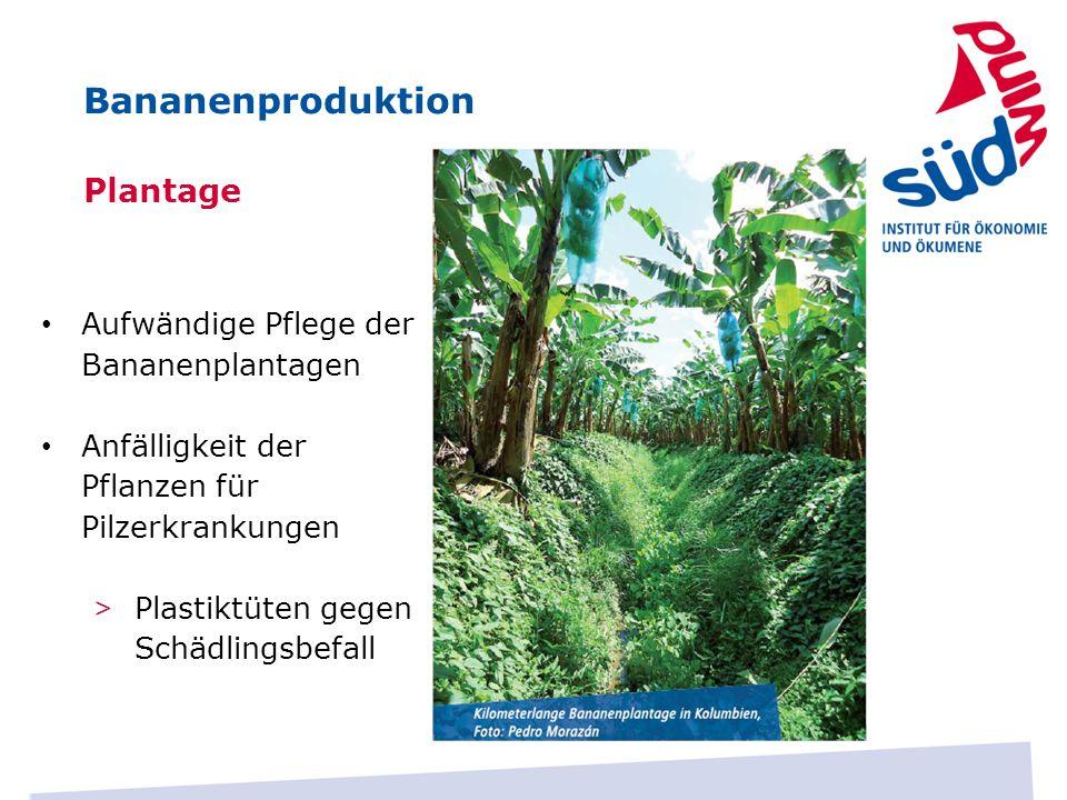 Bananenproduktion Plantage Aufwändige Pflege der Bananenplantagen