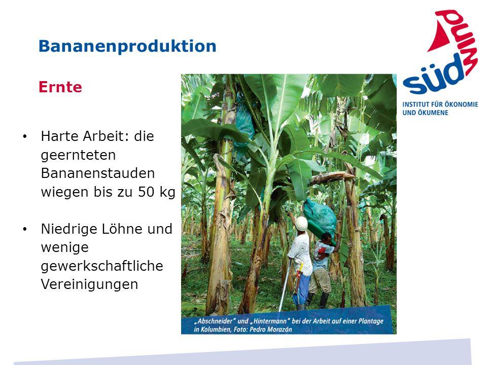 Bananenproduktion Ernte