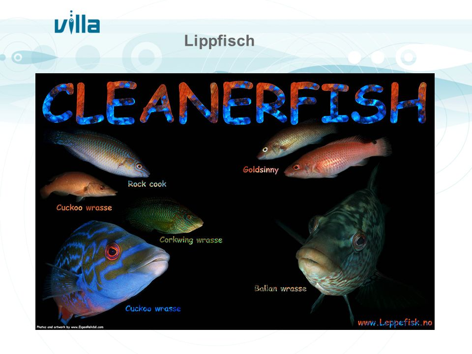 Lippfisch