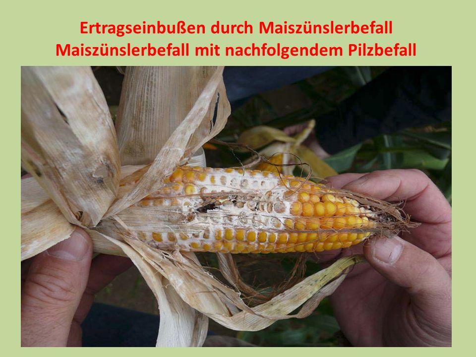 Ertragseinbußen durch Maiszünslerbefall
