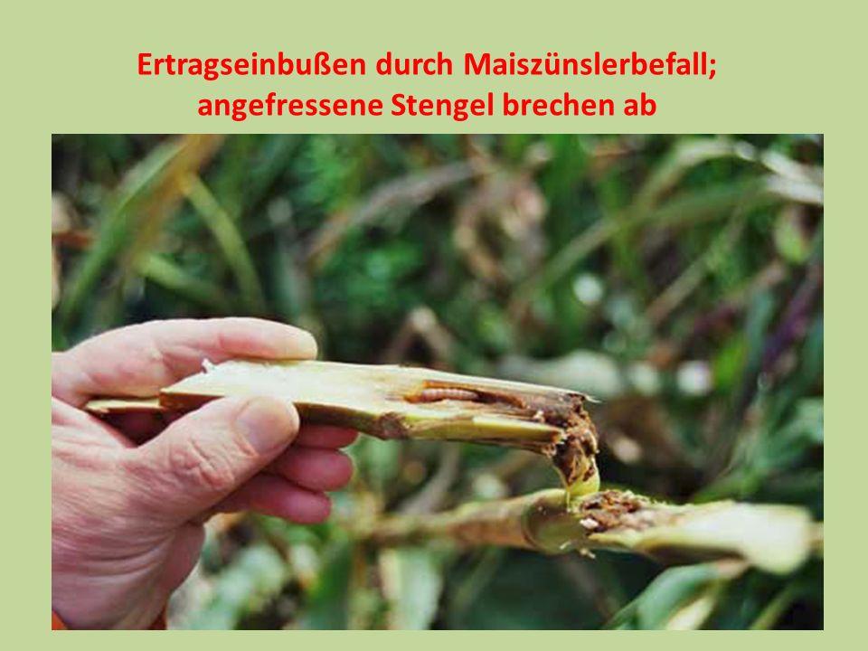 Ertragseinbußen durch Maiszünslerbefall;