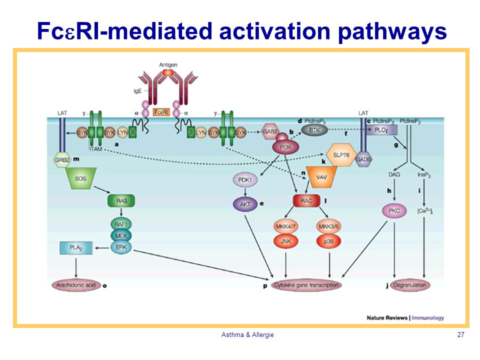 FceRI-mediated activation pathways