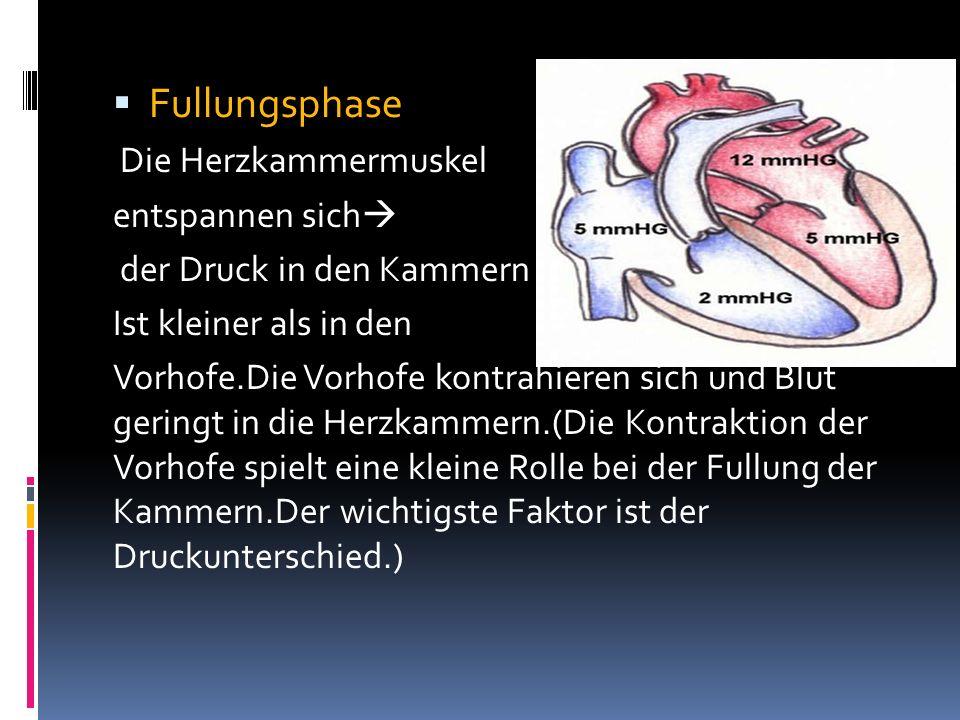Fullungsphase Die Herzkammermuskel entspannen sich