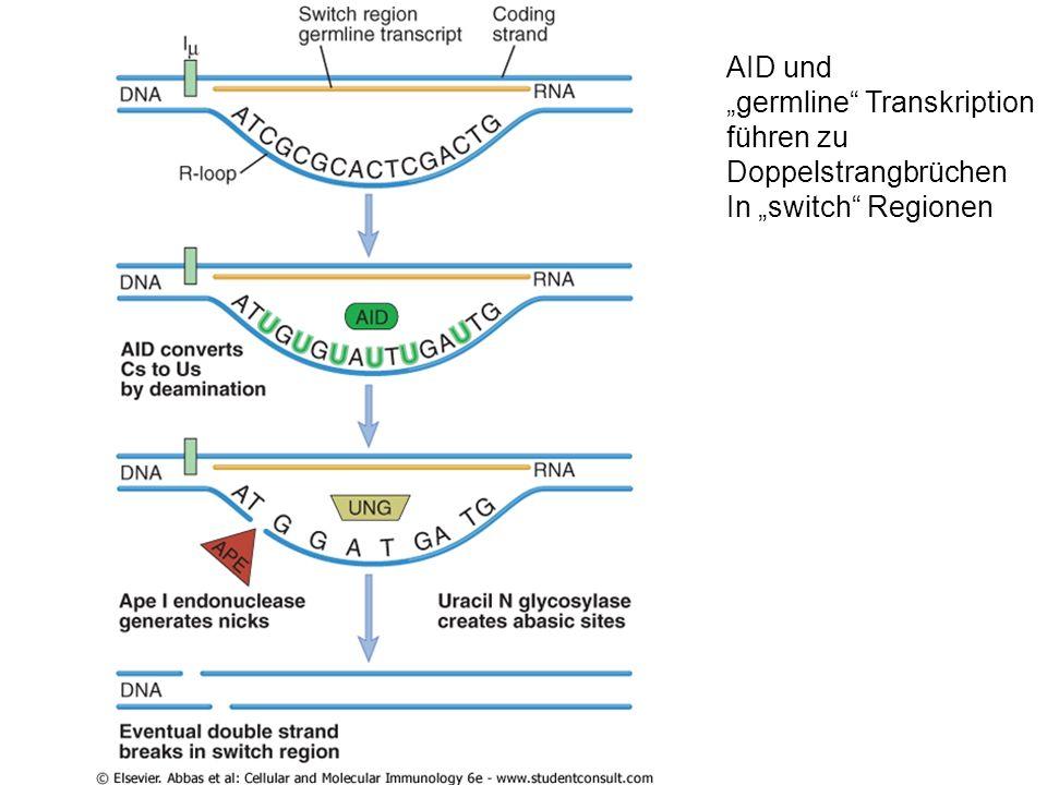 """AID und """"germline Transkription führen zu Doppelstrangbrüchen In """"switch Regionen"""