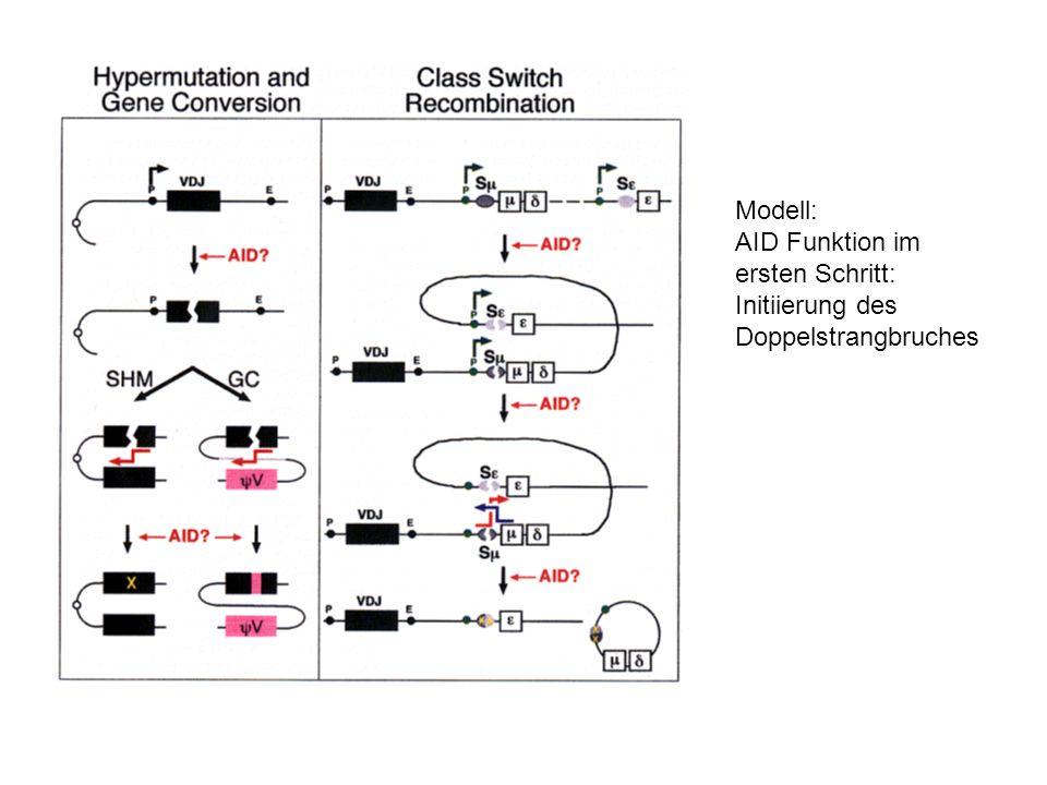 Modell: AID Funktion im ersten Schritt: Initiierung des Doppelstrangbruches
