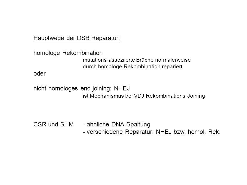 Hauptwege der DSB Reparatur: homologe Rekombination