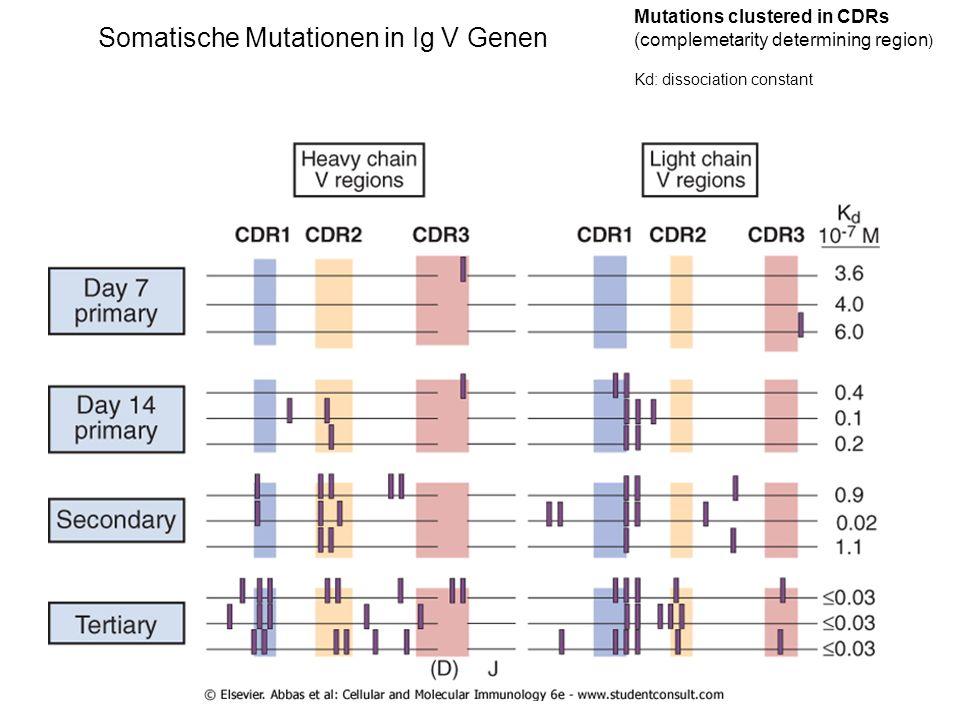 Somatische Mutationen in Ig V Genen