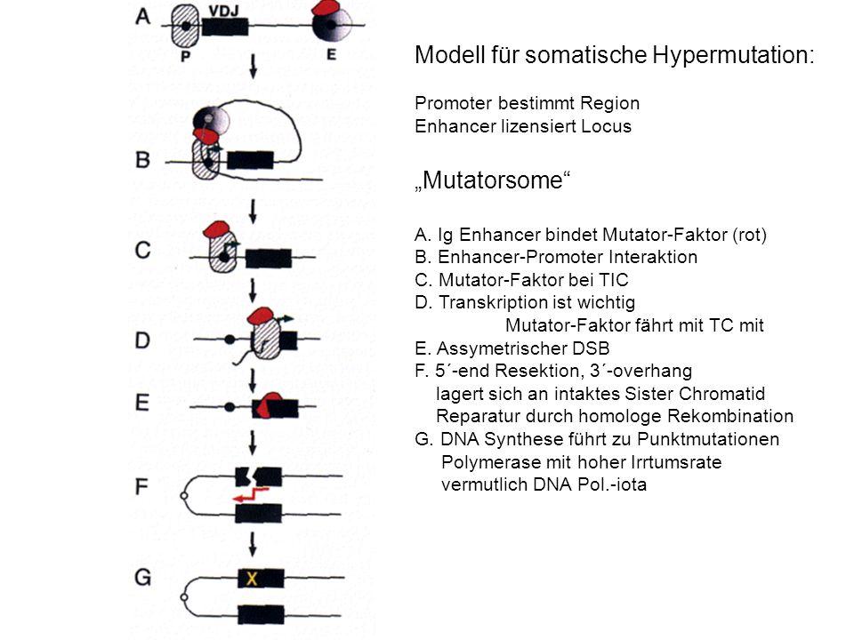 Modell für somatische Hypermutation: