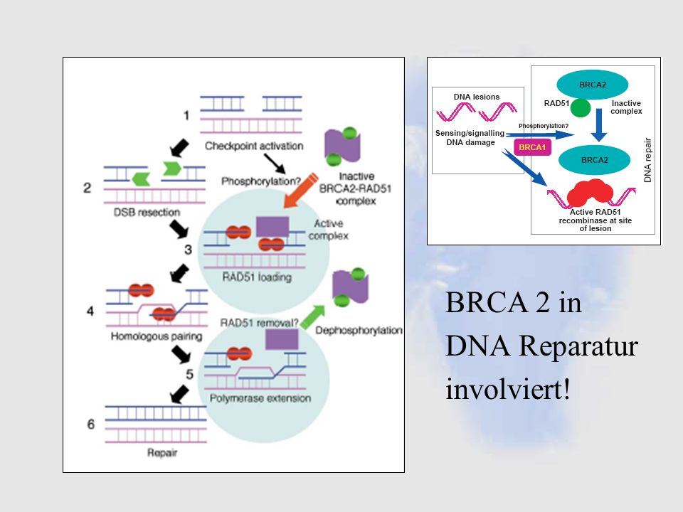 BRCA 2 in DNA Reparatur involviert!