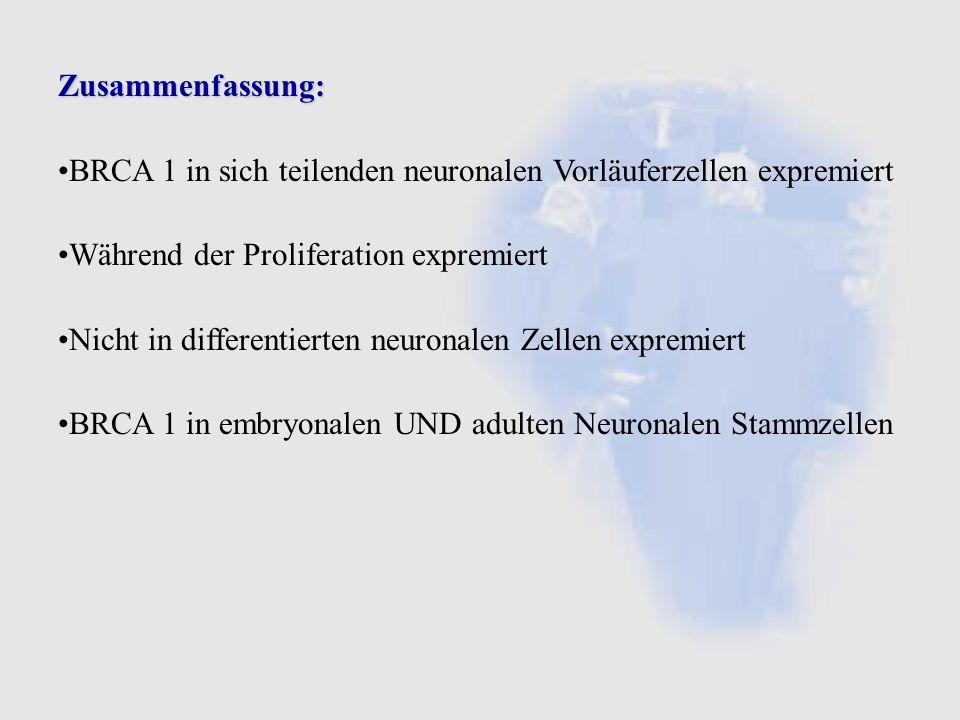 Zusammenfassung: BRCA 1 in sich teilenden neuronalen Vorläuferzellen expremiert. Während der Proliferation expremiert.