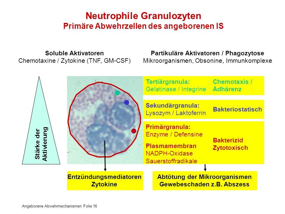Neutrophile Granulozyten Primäre Abwehrzellen des angeborenen IS