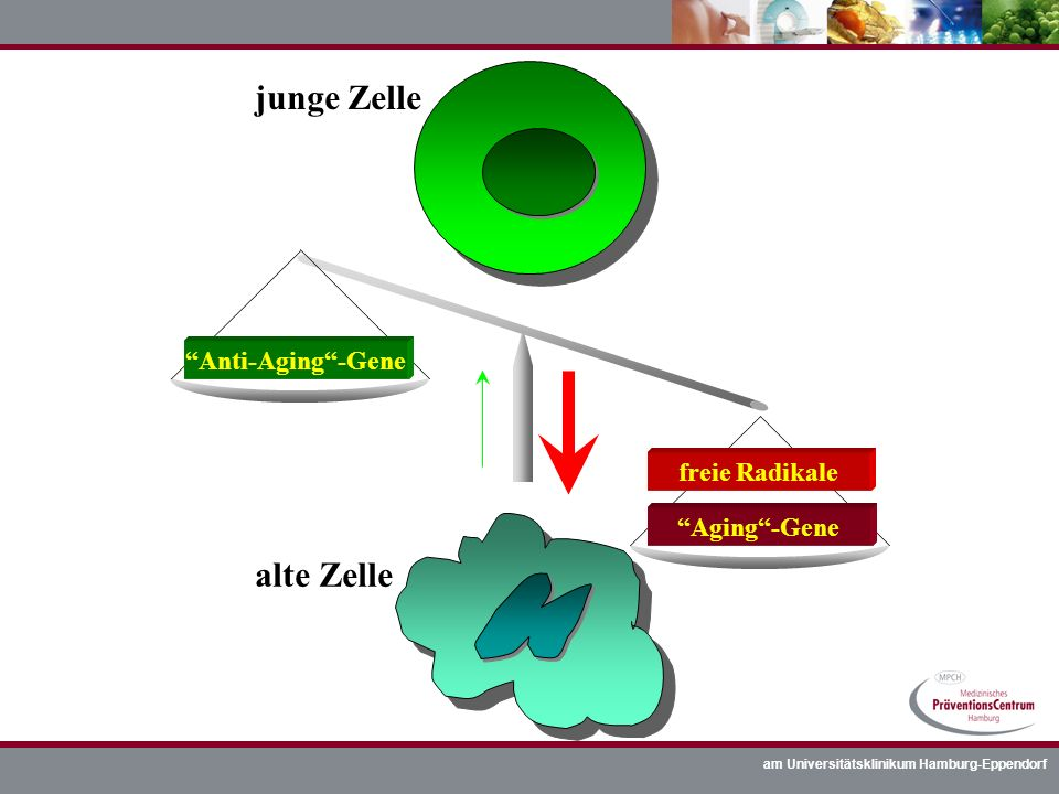 junge Zelle alte Zelle Anti-Aging -Gene freie Radikale Aging -Gene