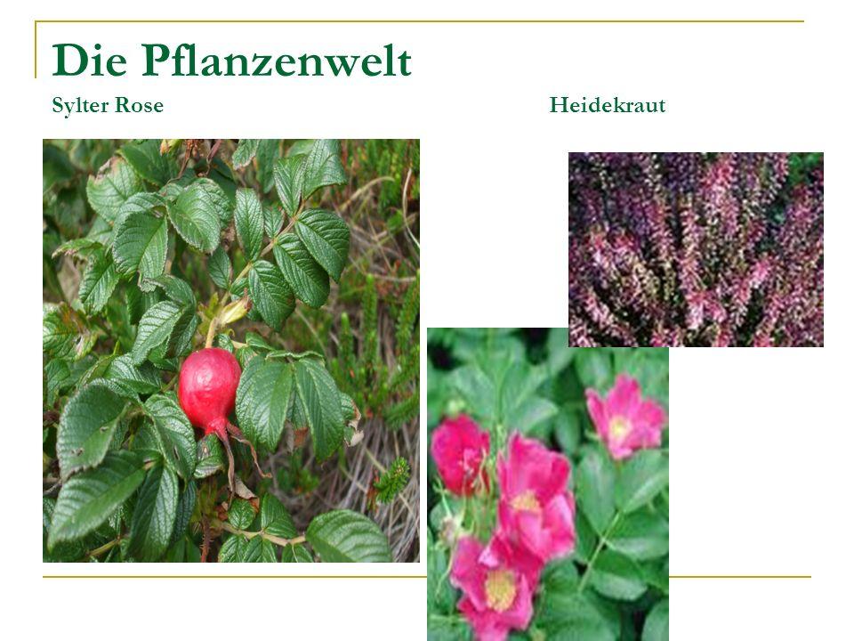 Die Pflanzenwelt Sylter Rose Heidekraut