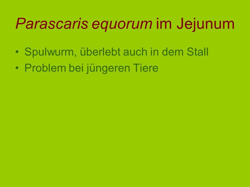 Parascaris equorum im Jejunum