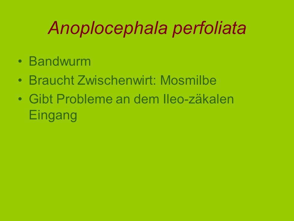 Anoplocephala perfoliata