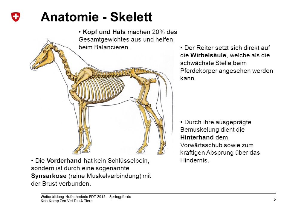 Anatomie - Skelett Kopf und Hals machen 20% des Gesamtgewichtes aus und helfen beim Balancieren.