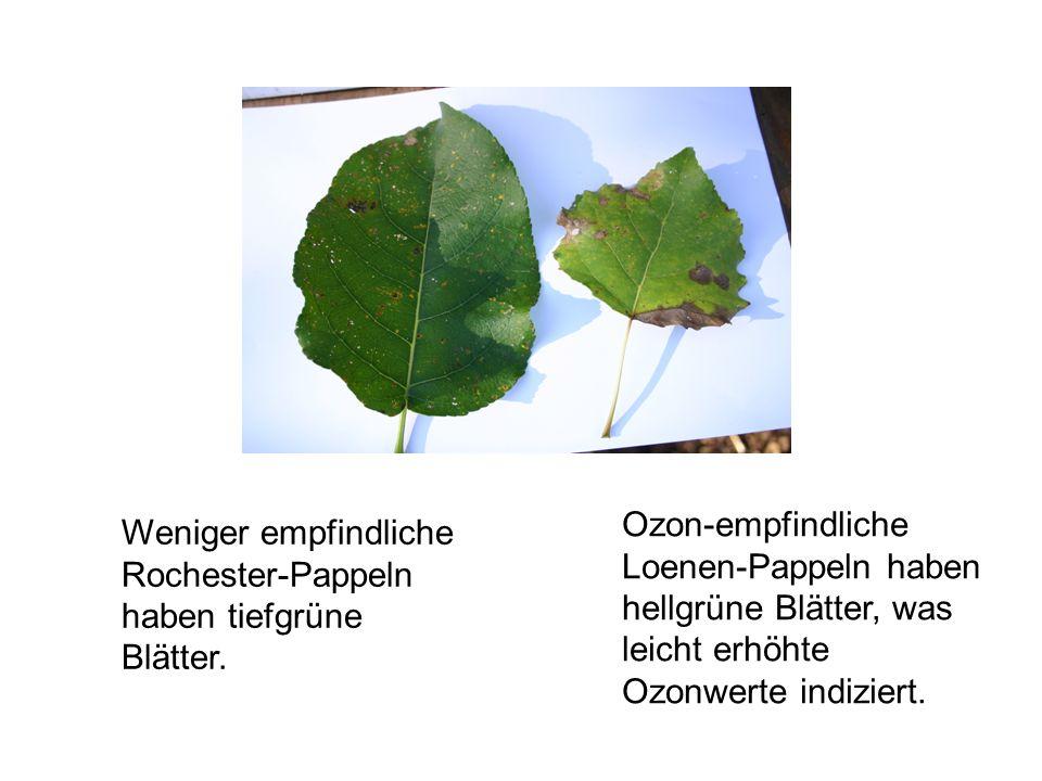 Ozon-empfindliche Loenen-Pappeln haben hellgrüne Blätter, was leicht erhöhte Ozonwerte indiziert.