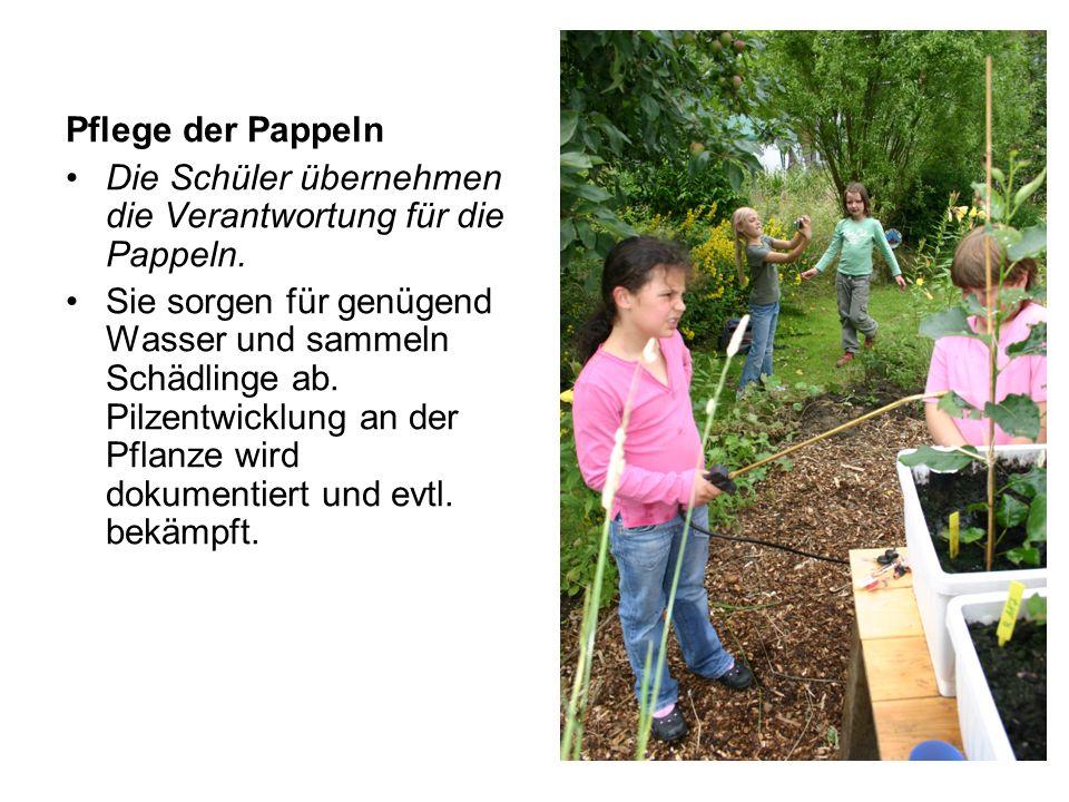 Pflege der Pappeln Die Schüler übernehmen die Verantwortung für die Pappeln.