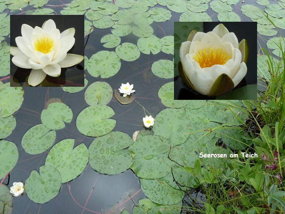 Seerosen am Teich