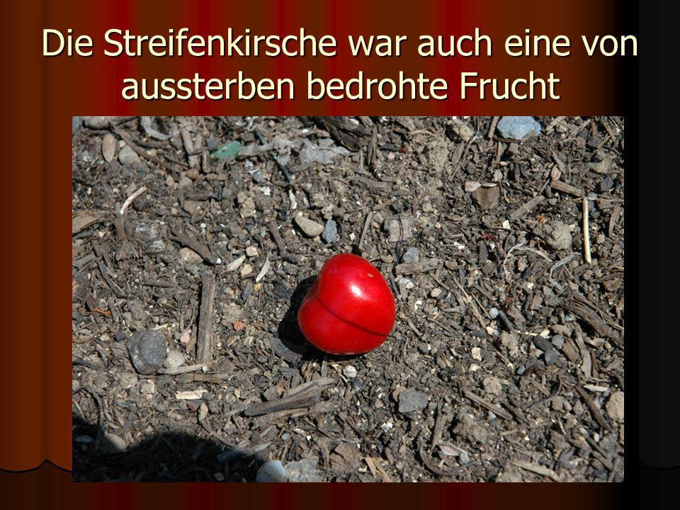 Die Streifenkirsche war auch eine von aussterben bedrohte Frucht