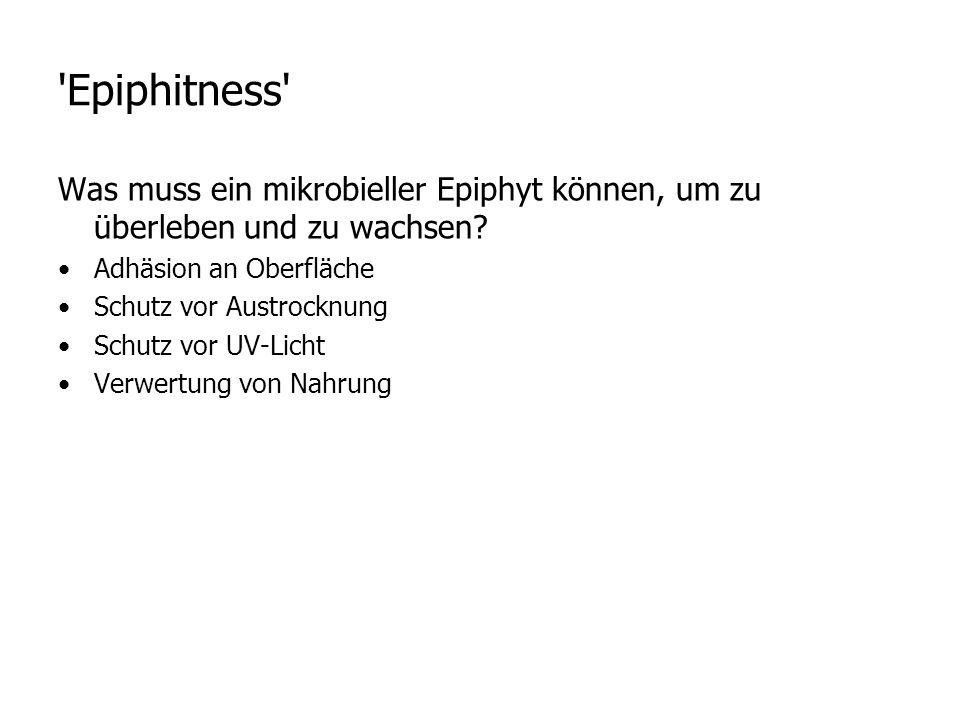 Epiphitness Was muss ein mikrobieller Epiphyt können, um zu überleben und zu wachsen Adhäsion an Oberfläche.