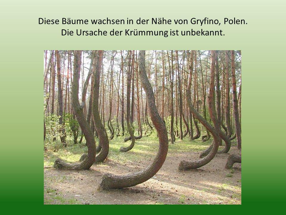 Diese Bäume wachsen in der Nähe von Gryfino, Polen