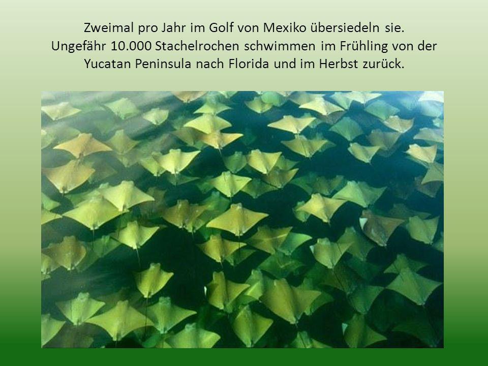 Zweimal pro Jahr im Golf von Mexiko übersiedeln sie. Ungefähr 10