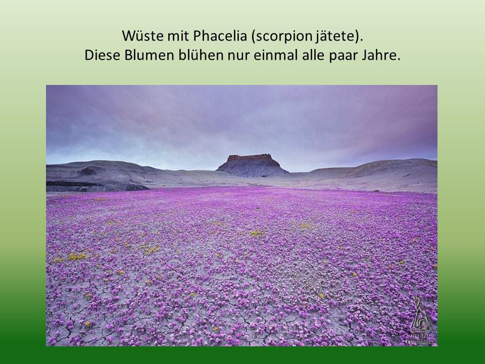 Wüste mit Phacelia (scorpion jätete)