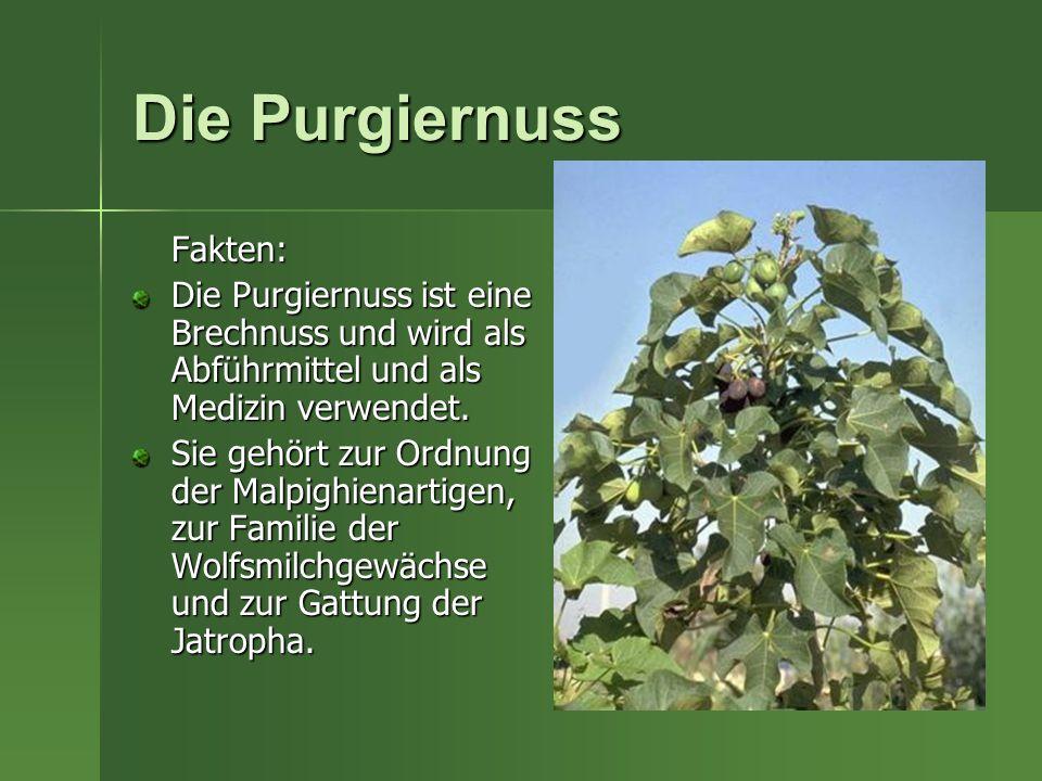 Die Purgiernuss Fakten: