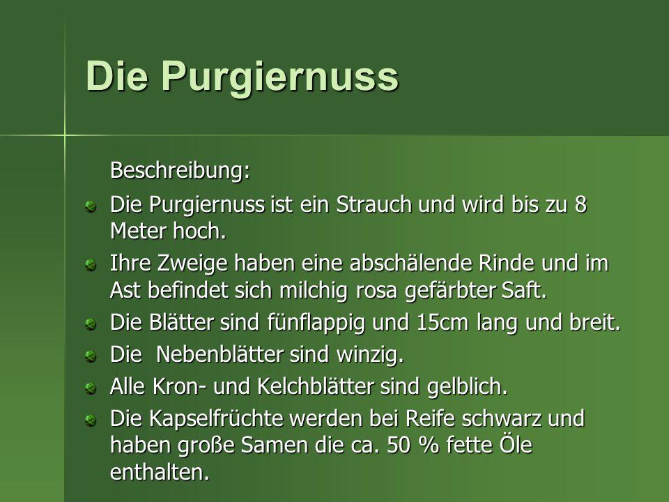 Die Purgiernuss Beschreibung: