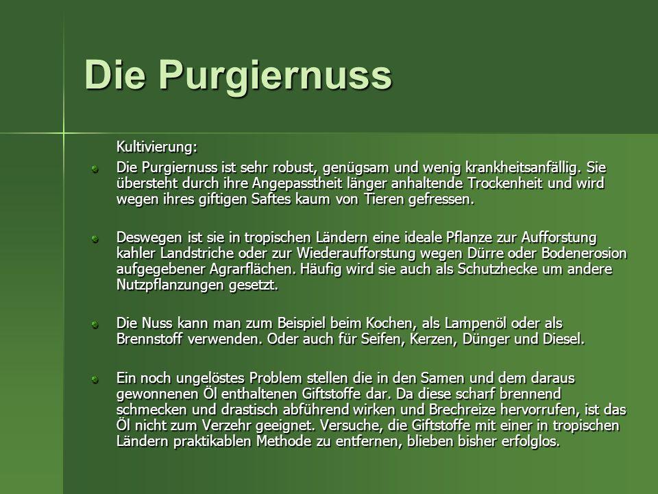 Die Purgiernuss Kultivierung: