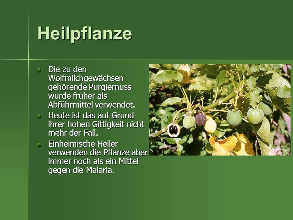 Heilpflanze Die zu den Wolfmilchgewächsen gehörende Purgiernuss wurde früher als Abführmittel verwendet.