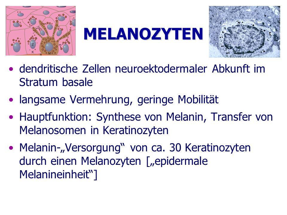 MELANOZYTEN dendritische Zellen neuroektodermaler Abkunft im Stratum basale. langsame Vermehrung, geringe Mobilität.