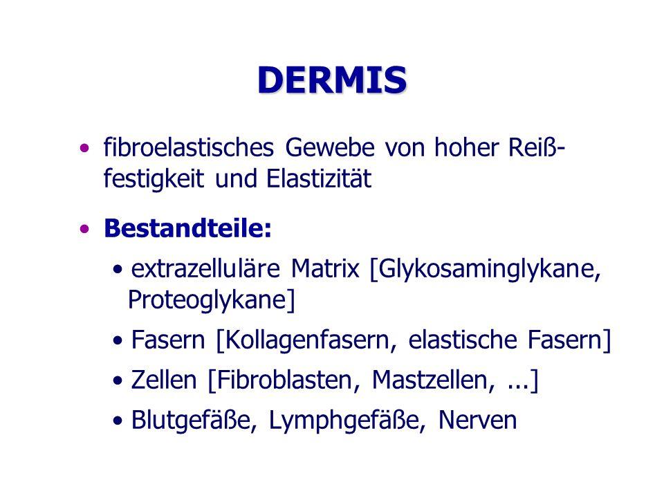 DERMIS fibroelastisches Gewebe von hoher Reiß- festigkeit und Elastizität. Bestandteile:
