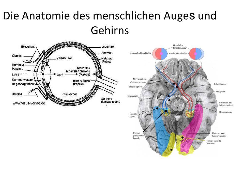 Die Anatomie des menschlichen Auges und Gehirns