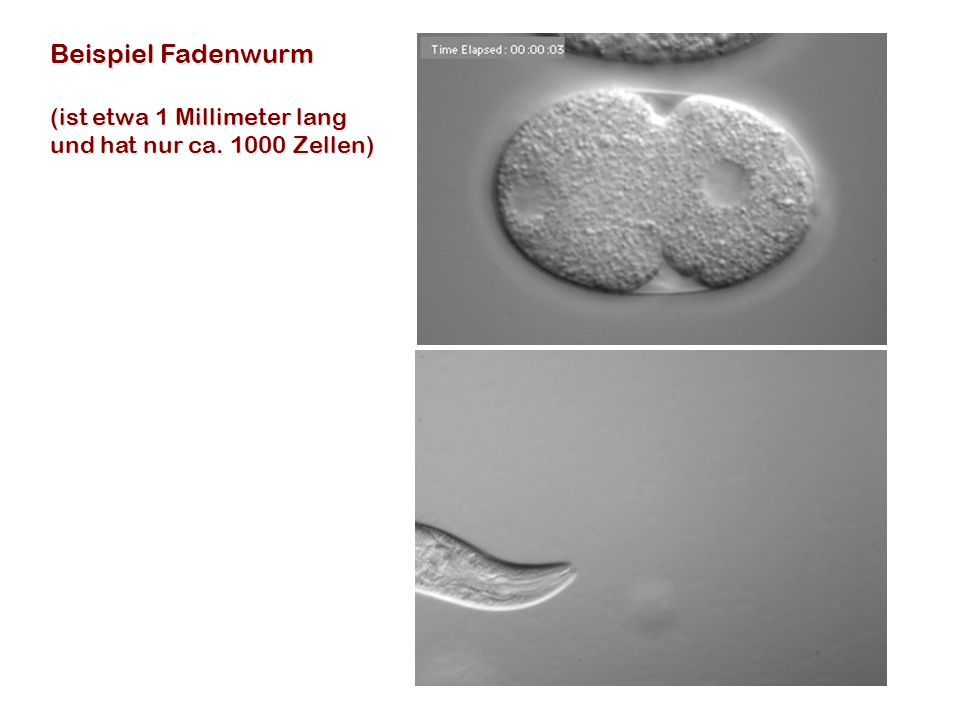 Beispiel Fadenwurm (ist etwa 1 Millimeter lang