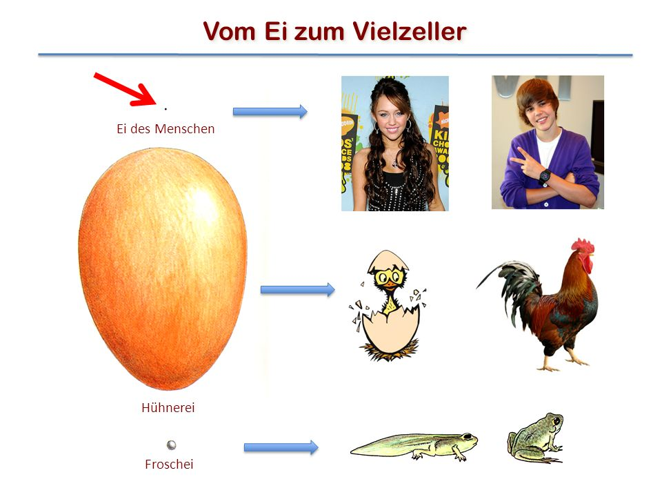 Vom Ei zum Vielzeller Ei des Menschen Hühnerei Froschei