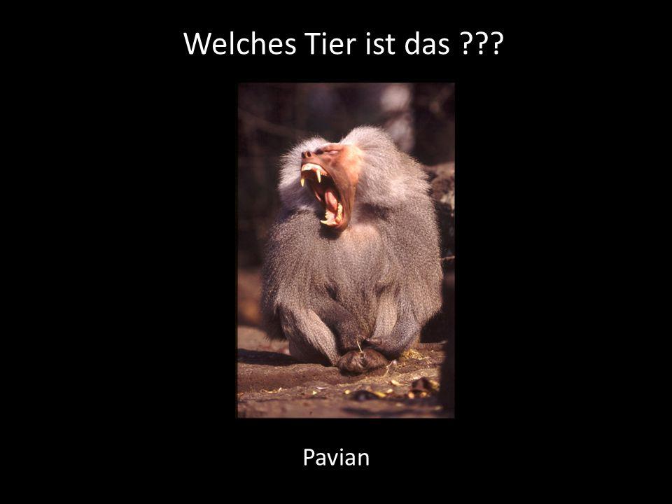 Welches Tier ist das Pavian