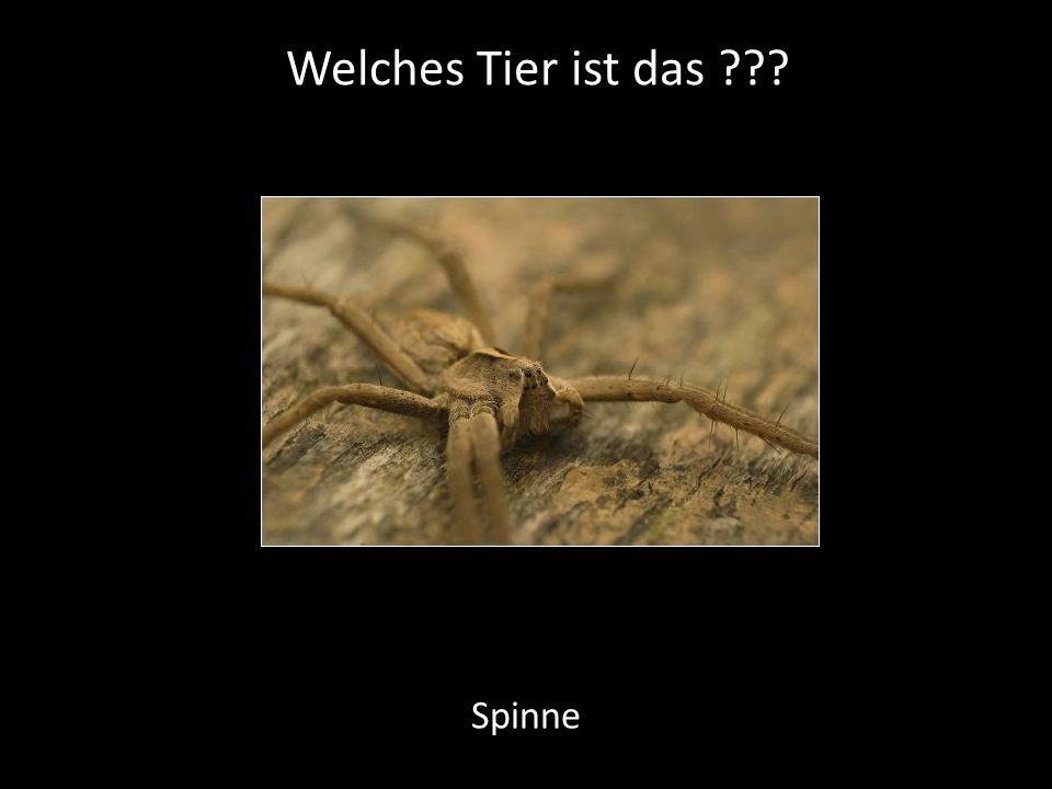 Welches Tier ist das Spinne