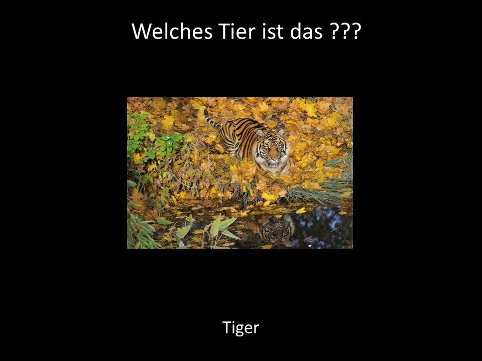 Welches Tier ist das Tiger