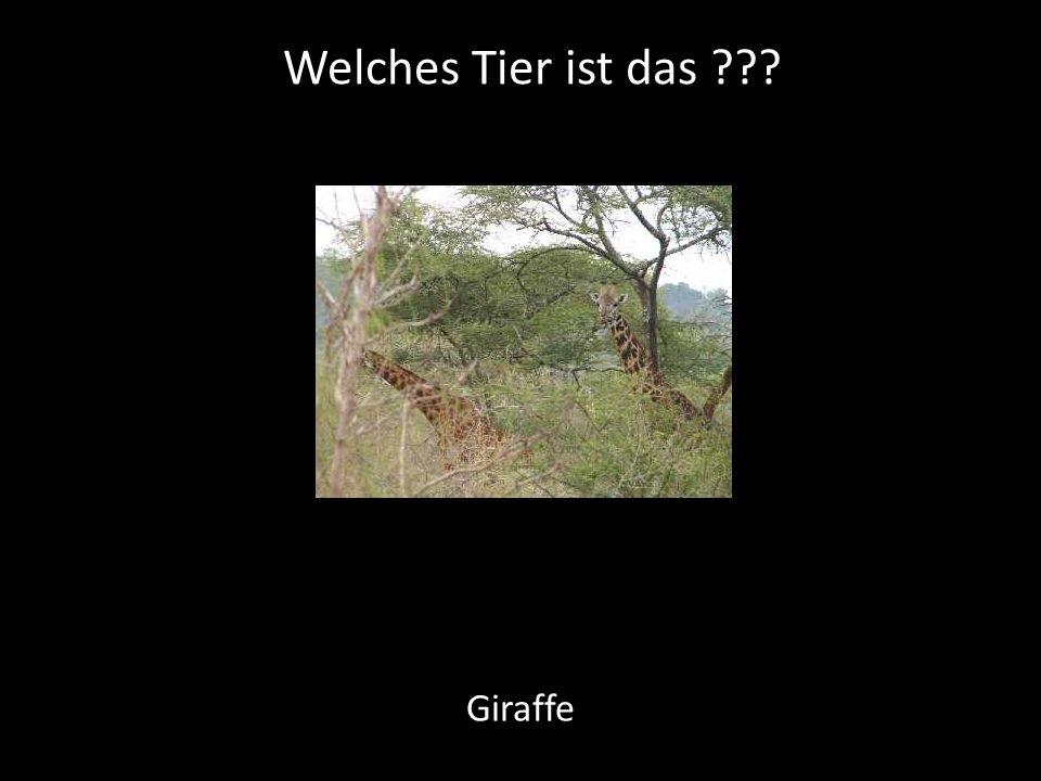 Welches Tier ist das Giraffe