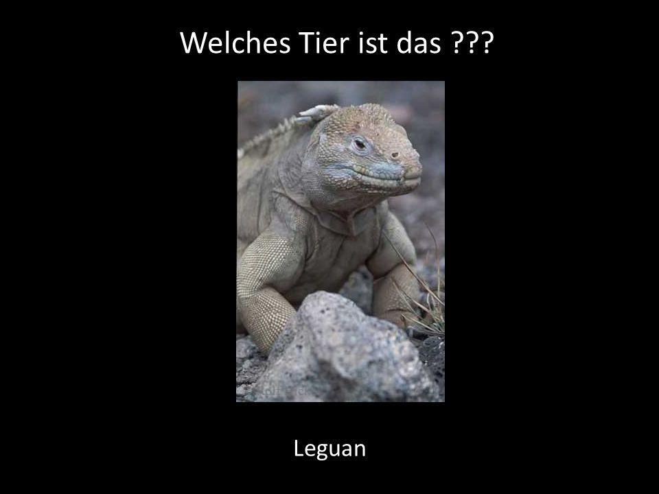 Welches Tier ist das Leguan