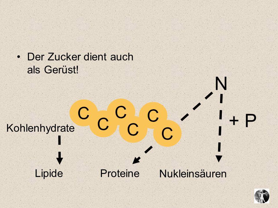 N + P C C C C C C Der Zucker dient auch als Gerüst! Kohlenhydrate