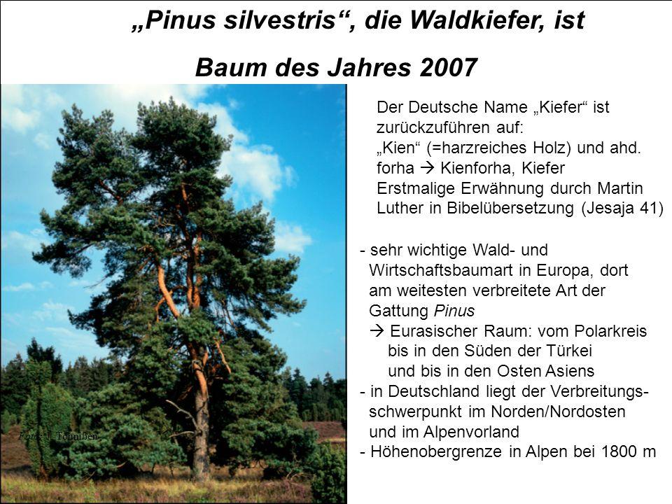 """""""Pinus silvestris , die Waldkiefer, ist"""