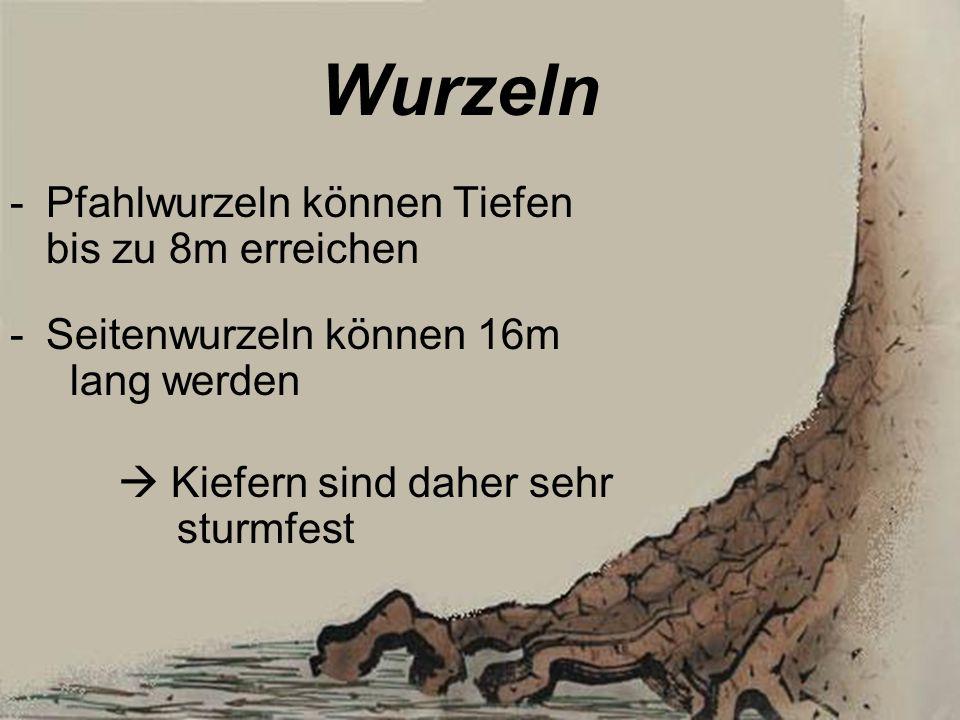 Wurzeln Pfahlwurzeln können Tiefen bis zu 8m erreichen