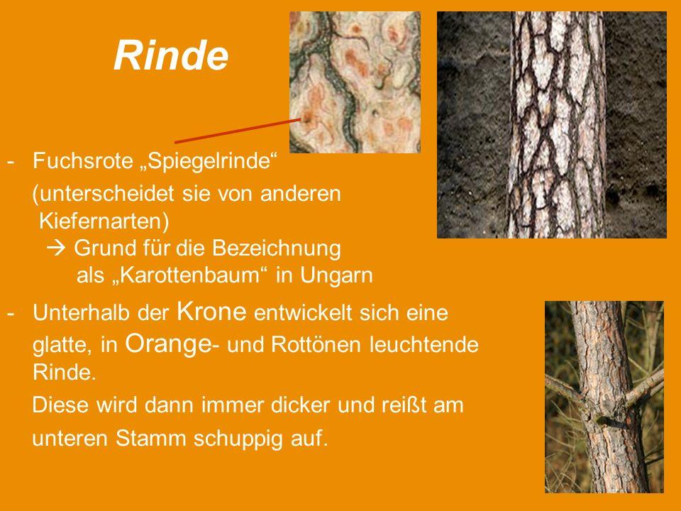 """Rinde Fuchsrote """"Spiegelrinde"""